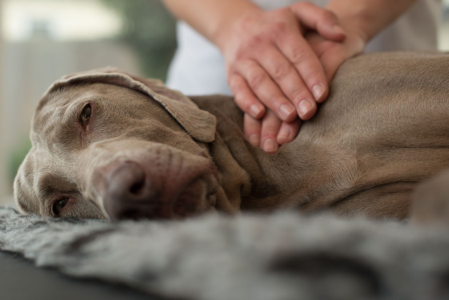 Dogs Health Canine Massage Therapy Gloucester